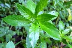 Leaves of Great Blue Lobelia