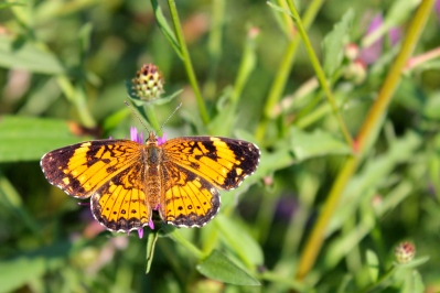 A Silvery Checkerspot visiting knapweed