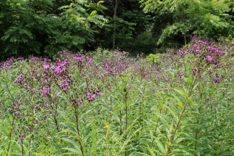 a tall stand of New York ironweed
