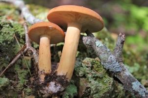 Swamps or Bradleys, Lactarius volemus
