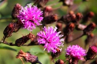 Rusty seeds of Ironweed