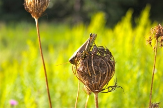 """The dried """"bird's nest"""" of seeds"""