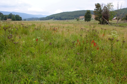 A field of summer wildflowers, including cardinal flower