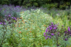 Ironweed grows in moist places along with jewelweed and common boneset