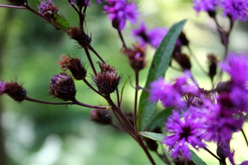 rusty seeds and stems of ironweed