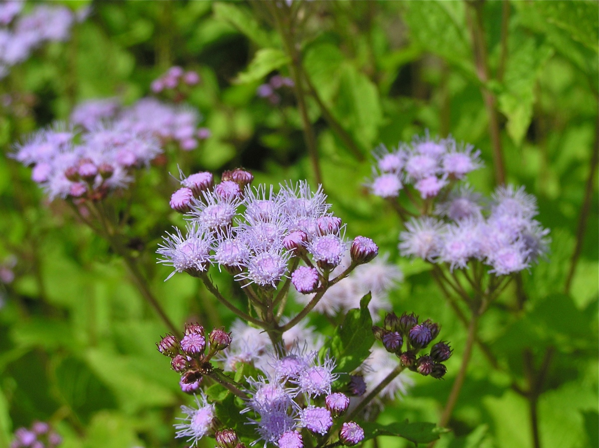Blue mist flower or wild ageratum virginia wildflowers izmirmasajfo