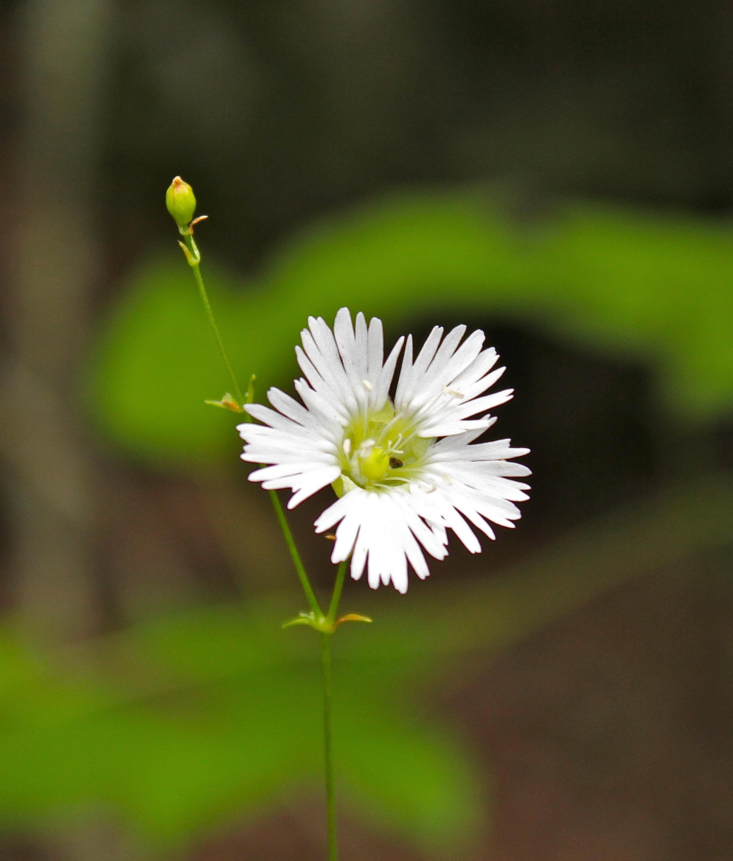 Starry Campion – Virginia Wildflowers