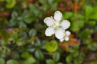 The Grass of Parnassus, Parnassia asarifolia