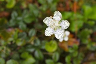 The Grass of Parnassus, Parnassia asarifolia