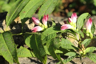 Turtlehead growing by the stream at Houska's