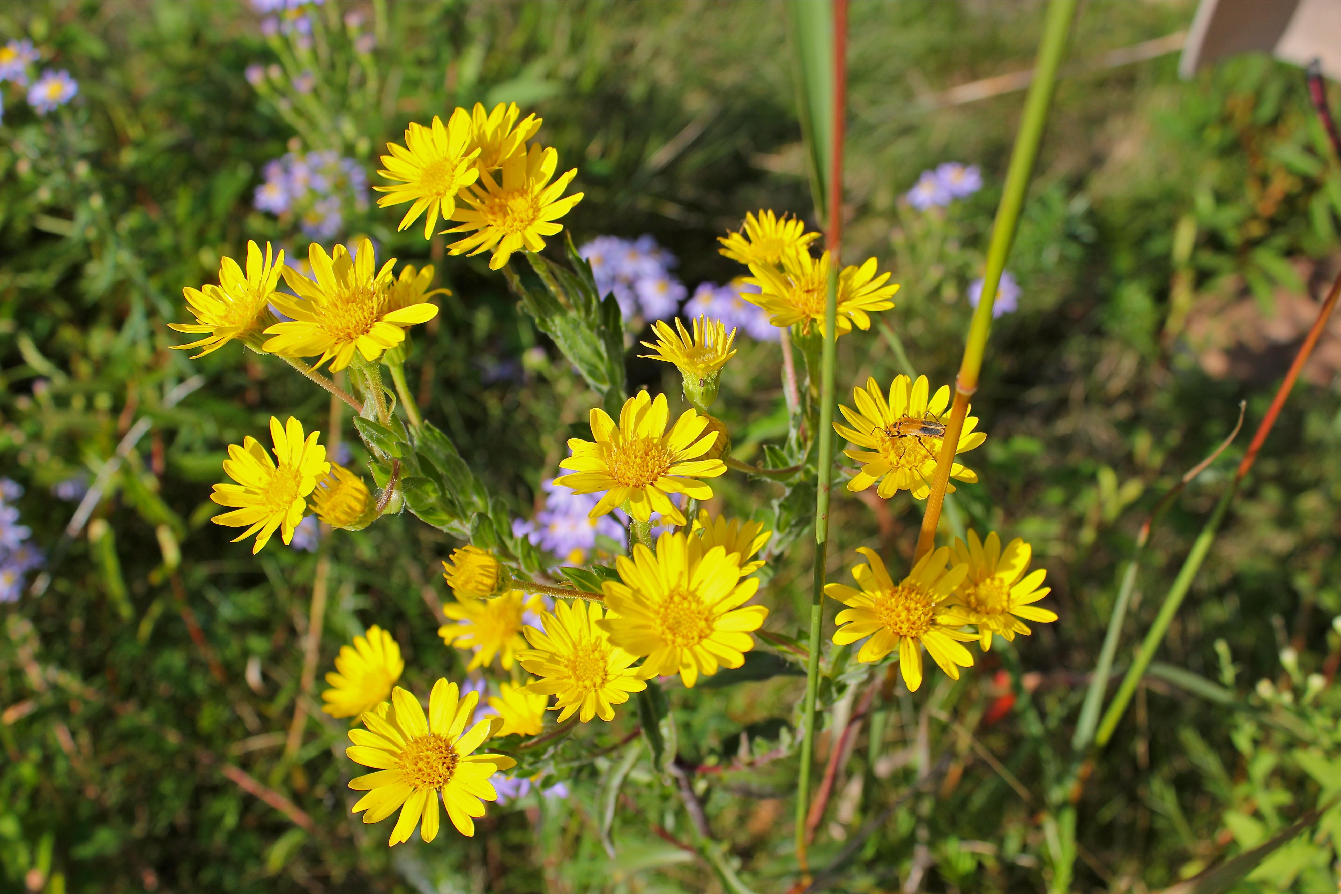 Golden Aster Virginia Wildflowers