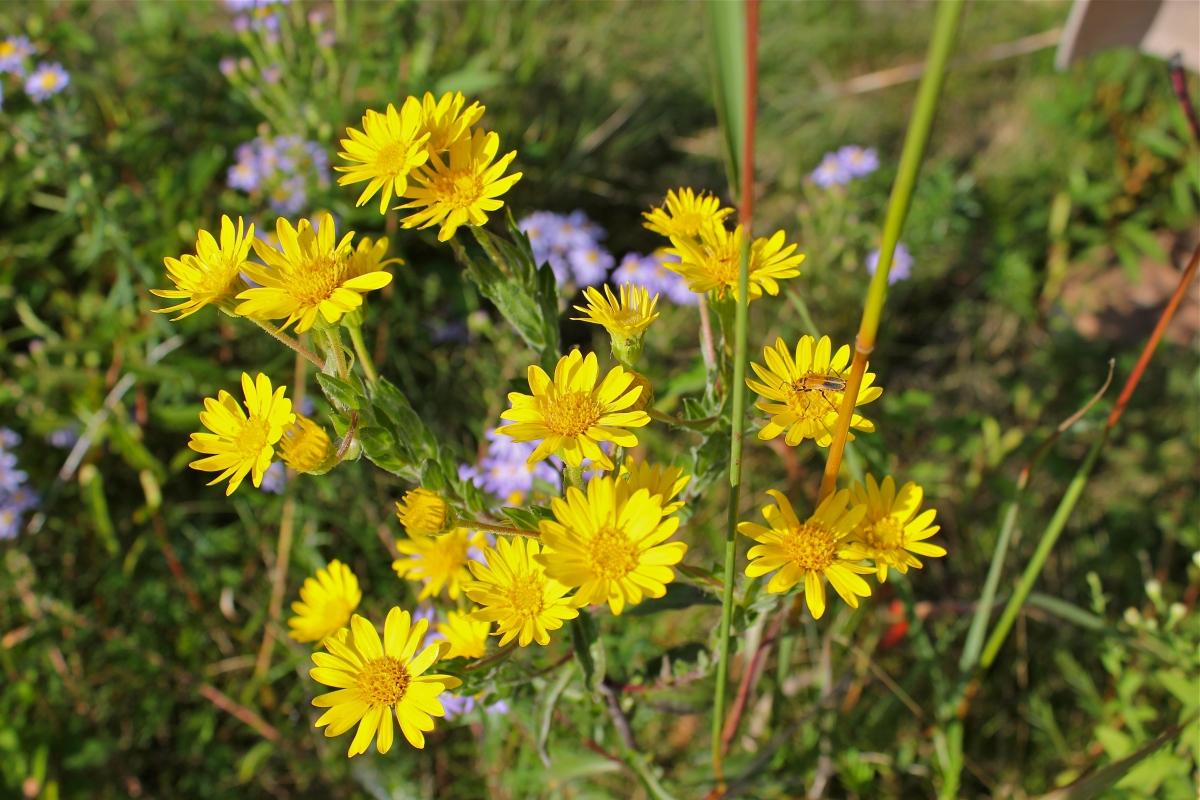 yellow flowers  virginia wildflowers, Beautiful flower