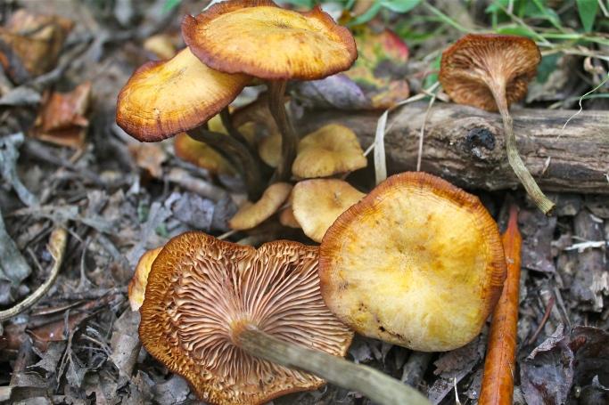 Armillaria tabescens