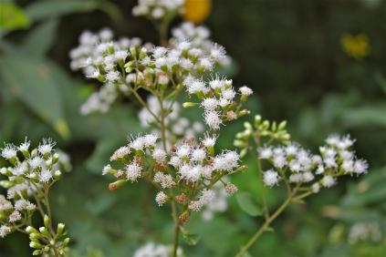 White snakeroot, Ageratina altissima