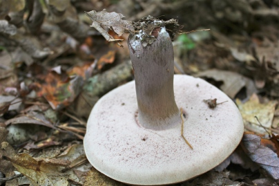Underside of pale bolete