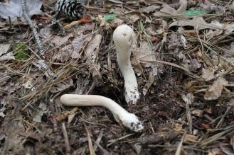 Clavariadelphis Clavariadelphus pistillaris (club fungus)