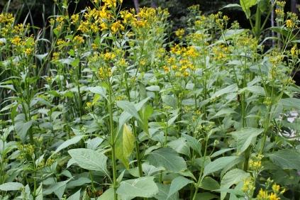 A stand of Crownbeard growing near Pandapas Pond