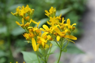 Yellow Crownbeard, Verbesina occidentalis