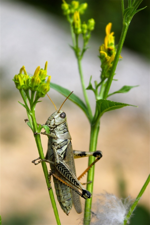 chomp, chomp: I think the leaves of yellow crownbeard are delicious!