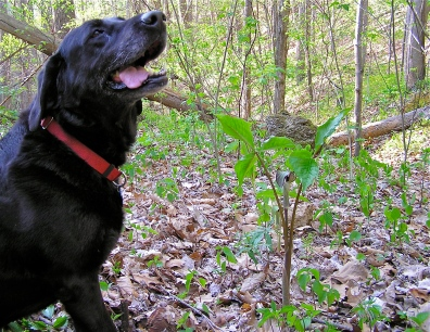Scout with a Jack in the Pulpit