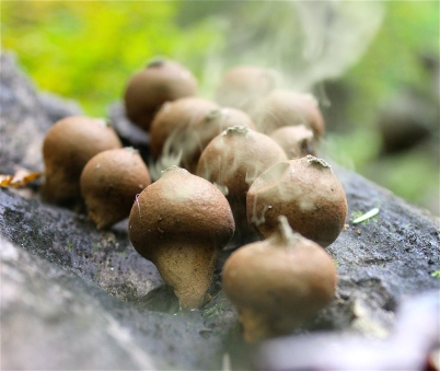 "Pear-shaped Puffballs are also called ""Wolf fart mushrooms""! Who knew?"