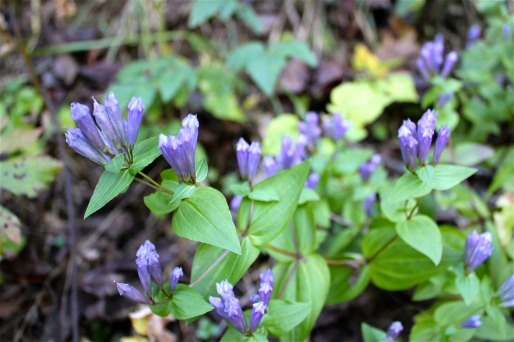 Stiff Gentian or Five-flowered Gentian