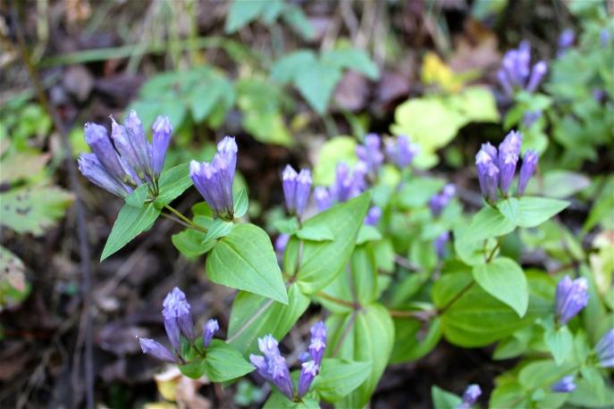 Stiff Gentian or Five-flowered Gentian