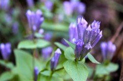 Stiff Gentian in the woods near Shawsville, VA