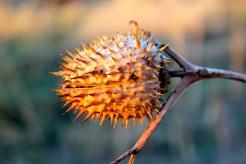 Dry seed capsule in winter