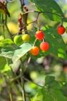 Ripening berries of bittersweet nightshade