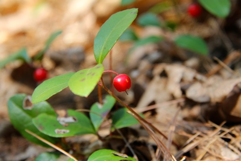 American Wintergreen fruit