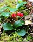 Teaberry or American Wintergreen