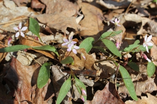 Carolina Spring Beauty, Claytonia caroliniana