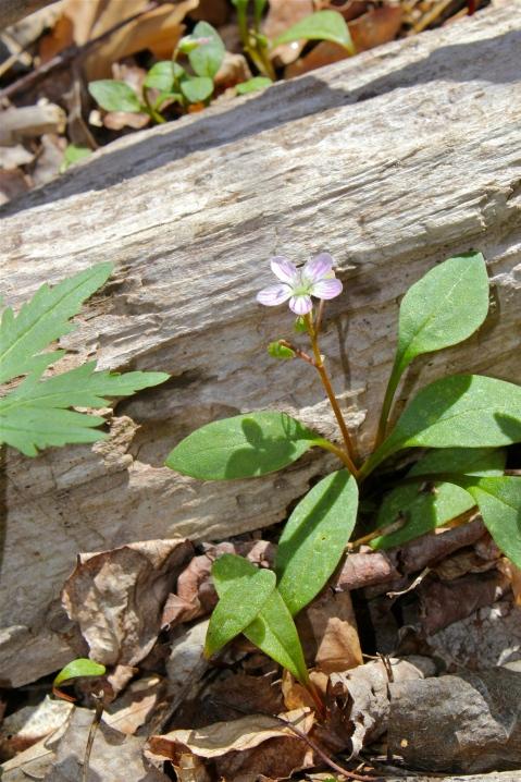 Carolina Spring Beauty, Claytonia caroliniana