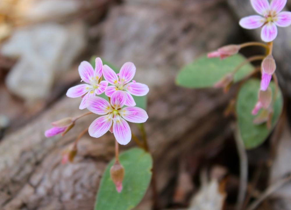 Spring Beauty, Claytonia caroliniana