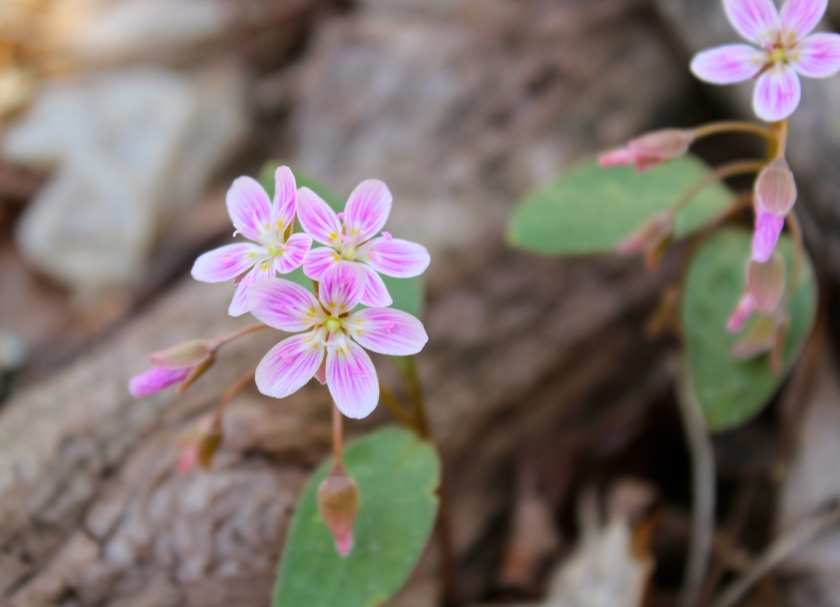 Spring Beauty, Claytonia caroliniana