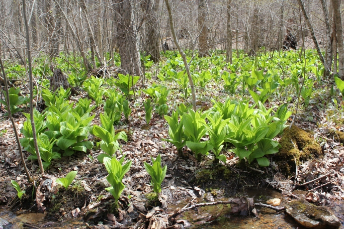 A patch of mixed skunk cabbage and false hellebore (both are poisonous to eat)
