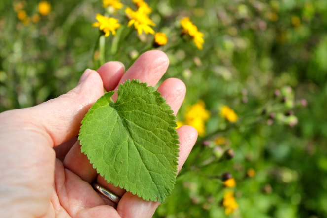 Heart-shaped leaves ofGolden Ragwort, Senecio aureus