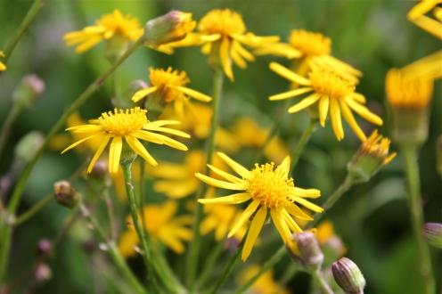 Golden Ragwort, Senecio aureus