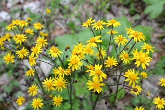 Flowers of Golden Ragwort, Senecio aureus