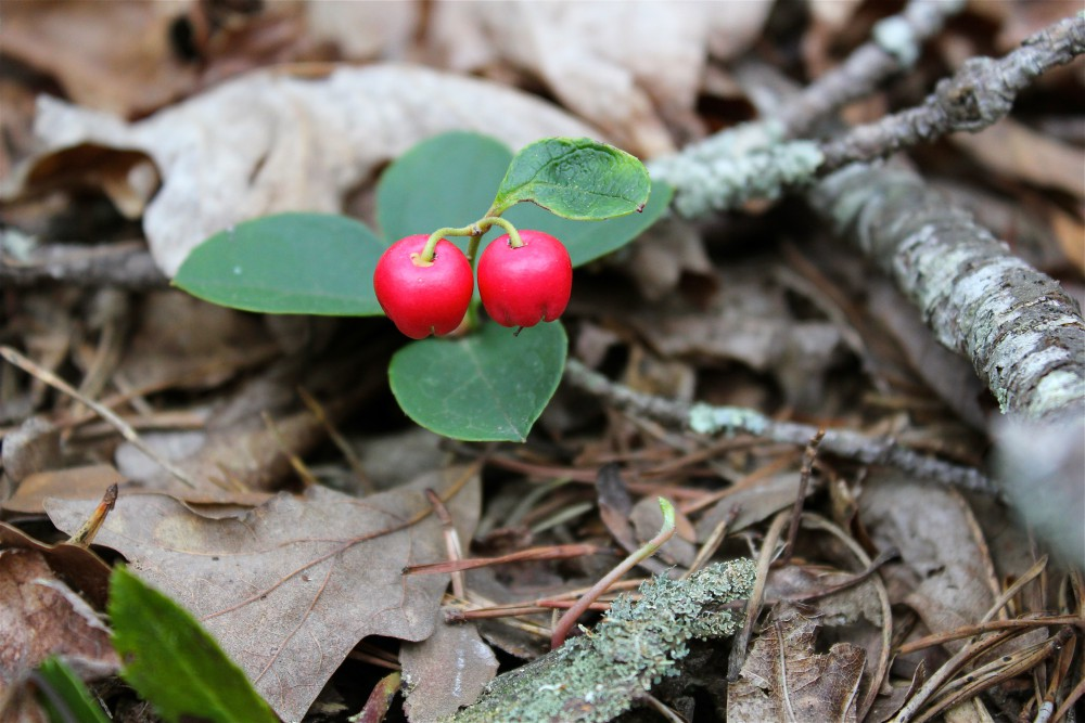 American Wintergreen or EasternTeaberry