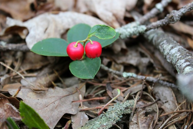 American Wintergreen or Eastern Teaberry
