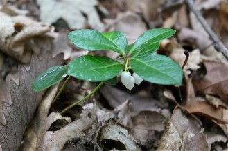 leaves and flowers of American wintergreen