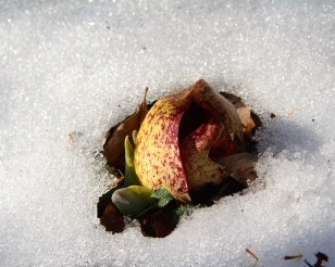 Skunk cabbage can flower in late winter. Here the flowers peek out of the snow in early March.