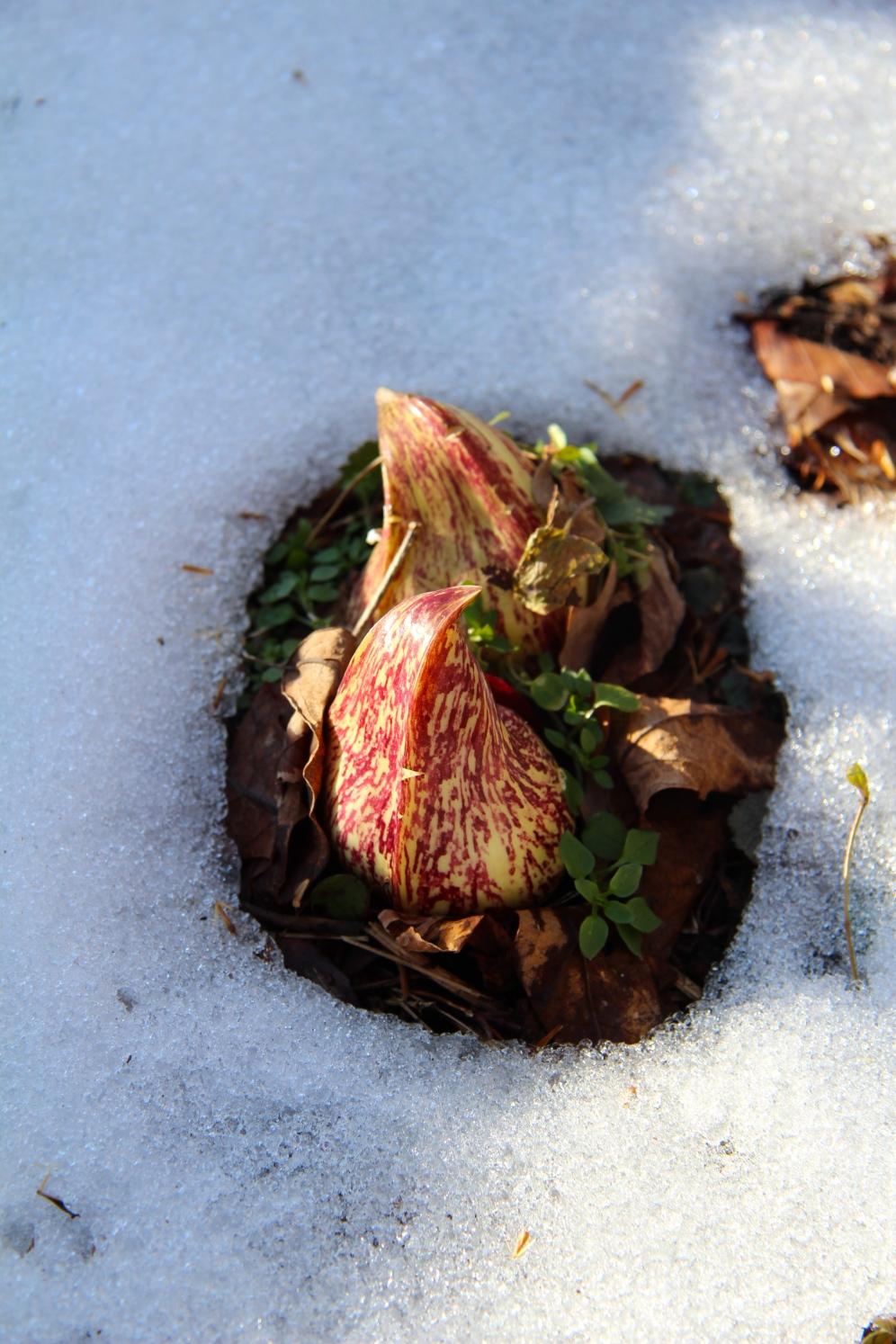 Flowering in the snow.