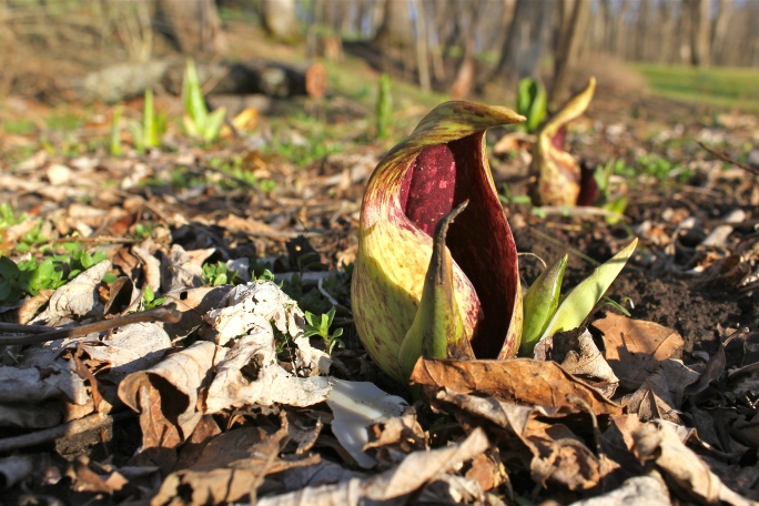 skunk cabbage flowers come up before the leaves
