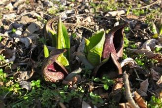 leaves and flowers coming up in early spring (March)