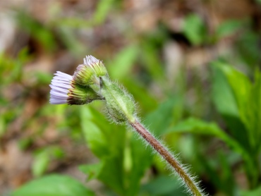 Note the hairy stem and leaves