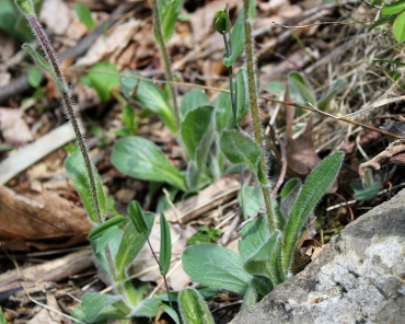 The basal leaves of Robin's Plantain