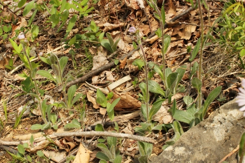A small colony of Robin's Plantain